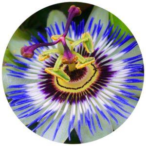 #Acessibilidade Foto de um detalhe de uma Passiflora, a Flor de Maracujá